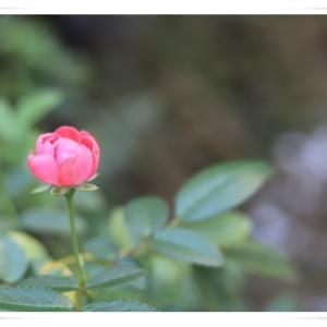 ミニチュアの薔薇も咲き出しました ♪