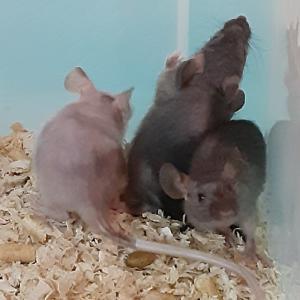 スキニーマウス