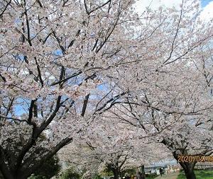 満開の桜に誘われて