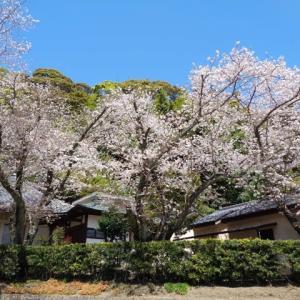 臨済寺の桜