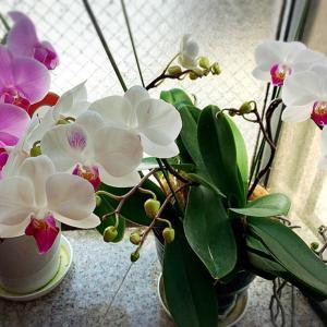 コロナ自宅待機&いただいた欄の花、新たに咲き始めました♪