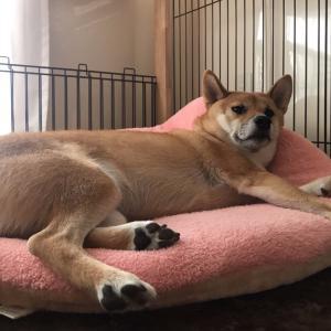 1歳齢ラストの1ヶ月を満喫している柴犬