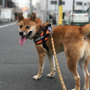 ガラガラの東京で残暑を過ごす柴犬