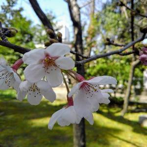大阪市内は桜ちらほら~この季節に着たい着物で