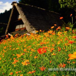 秋桜(あきざくら)色は黄花