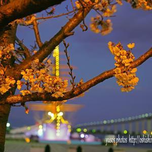 海王丸の桜