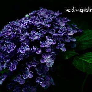 紫陽花の旬は終わったけれど