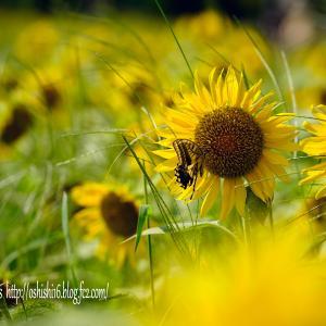 まだ夏 遅い向日葵