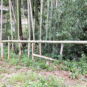 雨天続きで竹藪に行けません