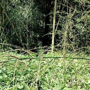 竹藪伐採地の花園化計画、頓挫です