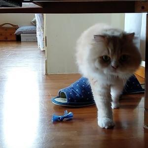 猫とだるまさんがころんだ