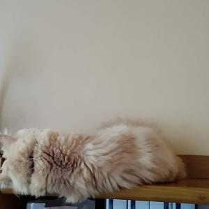 寝ていると顔の上に猫が降ってきます