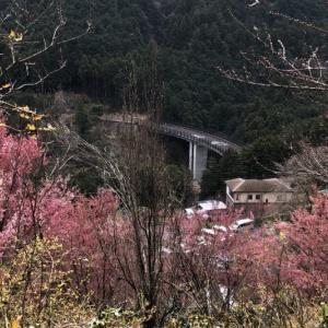 初めての根府川おかめ桜と珍しいアーモンドの花に会いに