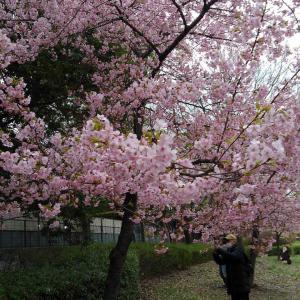 鶴見緑地の桜🌸