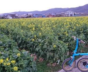 菜の花畑と思いきや!?