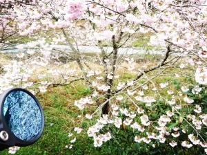 世の中に たえて桜のなかりせば