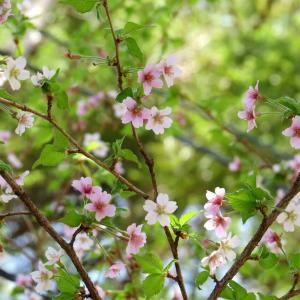 Vol.3758 桜