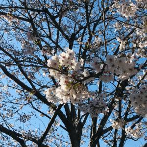 桜と共に卒業。
