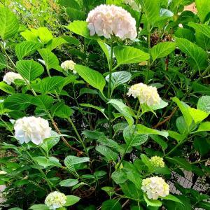 台北・陽明山の紫陽花(アジサイ)も咲いています