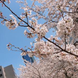 ひさびさの晴れと桜♪