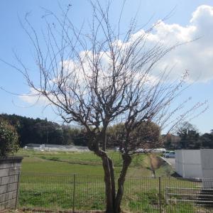 お庭の木の手入れ✂