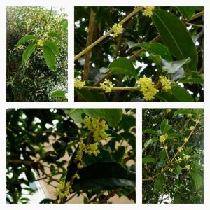 10月17日 金・銀木犀が咲く
