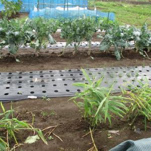 香川ニンニクの種を保存するために香川ニンニクを埋めました。