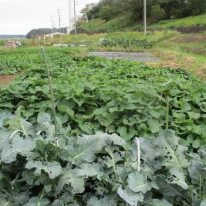 やっと香川ニンニクが発芽しました。