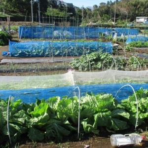 白菜は12月には収穫できそうです。