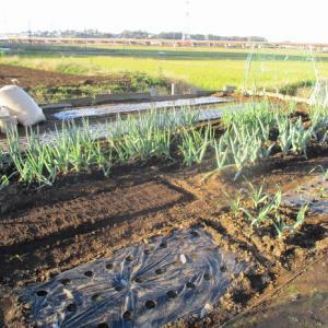 レタスの苗を畑に植え付けました。