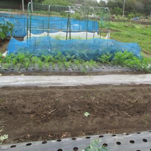 春キャベツを定植しました。
