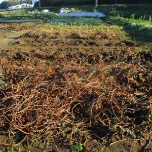 サツマイモの紅ハルカ3号畝を掘りました。