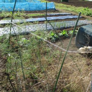 アスパラの堆肥養生。