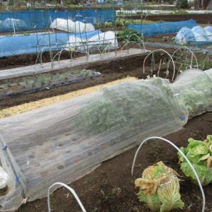 白菜にさらに防寒頭巾を被せました。