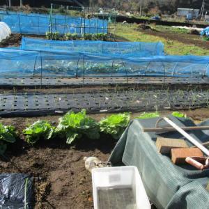 今が旬の小松菜の収穫。