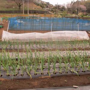 トウモロコシ2弾の畝を作りました。