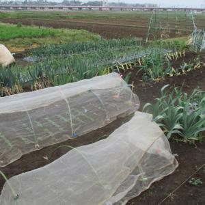 ここの玉ねぎは収穫が近いです。