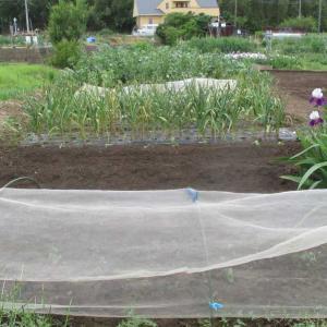 ニンニクは直ぐに収穫します。