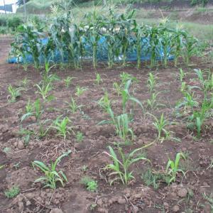 枝豆の種を取りました。