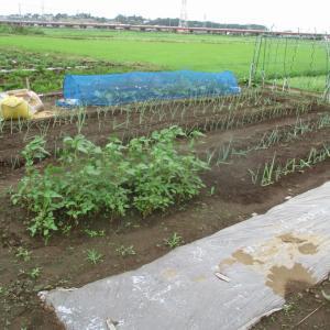 モロヘイヤの初収穫をしました。
