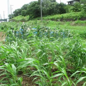 ブロッコリーの畝を作り太陽熱消毒をしています。