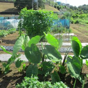 里芋の脇芽欠きをし、追肥土寄せをしました。