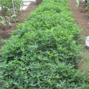 大浦牛蒡の種を蒔きました。