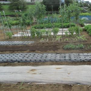 苗床のイチゴは順調です。