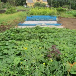 ハトムギの収穫はほぼ終わりました。