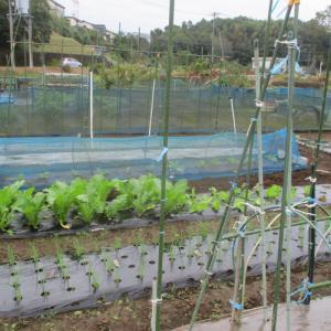 間引き白菜の移植。