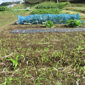間引き玉ねぎ苗の移植畝を作りました。