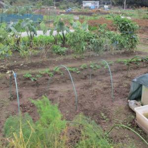ナス科の野菜を撤収して春キャベツ①の畝を作りました。