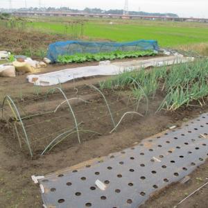空豆はそろそろ発芽するでしょう。