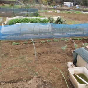春キャベツの苗を植えました。